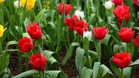 Red tulip field stock video footage