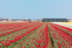 Red tulip field in Holland Stock Photos