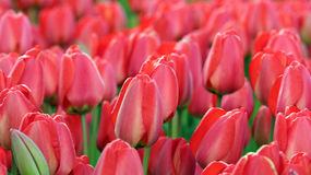 Red Tulip Field Royalty Free Stock Photo