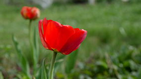 Red tulip in the field. 4k UltraHD video. Footage stock video footage