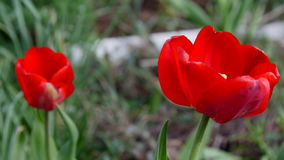 Red tulip in the field. 4k UltraHD video. Footage stock video