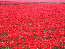 Red tulip field in the Netherlands Royalty Free Stock Photos