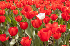Red tulip field with one white tulip Stock Photo