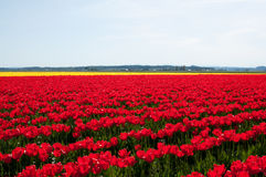 Red tulip field Stock Photography