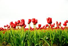 Red Tulip Field Rows Royalty Free Stock Photo