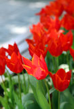 Red tulip in the field Stock Image