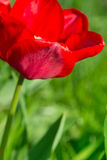 Red tulip on the field Stock Photo