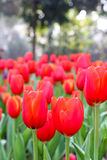 Red tulip field in sunny day Stock Photography