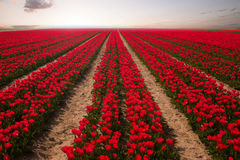 Red tulip field at sunset with beautiful colors. Royalty Free Stock Image