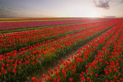 Red tulip field at sunset with beautiful colors. Stock Images