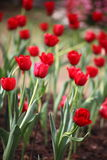 Red tulip field. Tulipa spp. L. (Leen Vd Nark, LLe de Srance Royalty Free Stock Photography