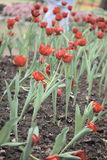 Red tulip field. Red tulips field and disrupt (Tulipa spp. L Stock Photos