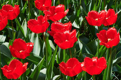 The red tulip field. Red tulips field on a sunny spring day Royalty Free Stock Images