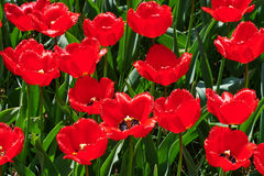 The red tulip field. Red tulips field on a sunny spring day Stock Photo