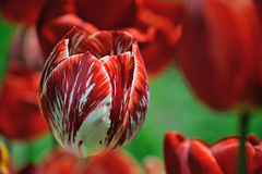 Red tulip in the field. Red-white tulip on the background of the tulip fields Stock Photography