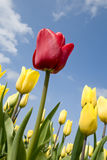 Red tulip in field with yellow tulips. Outdoor Royalty Free Stock Photos