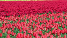 Red Tulip Fields in Spring Bloom. Dutch red tulip blossom flowers fields in springtime. HD1080p stock footage