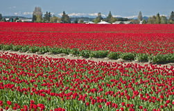 Red Tulip Fields in Spring Landscape Royalty Free Stock Images