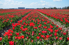 Red Tulip Fields Stock Image