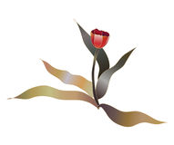 Red tulip flower Royalty Free Stock Photo