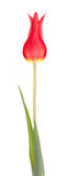 Red tulip flower. Isolated on white background Stock Photos