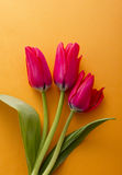 Red tulip flower. Red tulip on orange background Stock Photography