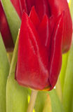 Red tulip flower abstract Royalty Free Stock Images