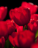 Red tulip flower backlit by the sun Stock Photo