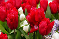Red Tulip Flower. Beautiful red flower on field at botanical garden, Netherlands royalty free stock photography