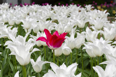 Red tulip in a flower bed with white tulips. Royalty Free Stock Image