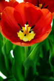 Red tulip flower in bloom. Closeup of red tulip flower with shades of orange in bloom Royalty Free Stock Photography