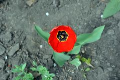 Red tulip flower blooming and growing in gray ground blurry background. Top view stock photo