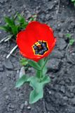 Red tulip flower blooming and growing in gray ground blurry background, vertical. Top view royalty free stock images