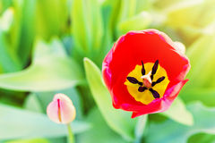 Red tulip flower blossom with copy space Stock Image