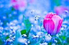 Red tulip flower on blue filed Stock Photography