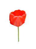 Red tulip flower bud on a white background Royalty Free Stock Photos