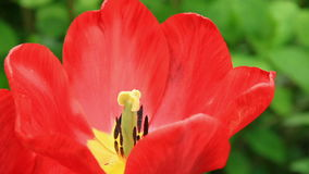 Red tulip flower close-up stock video footage