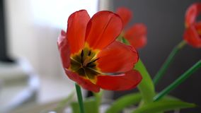 Red tulip flower close-up. Indoor video stock footage