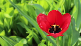 Red tulip flower close up. Tulipa on green grass background.  stock video footage