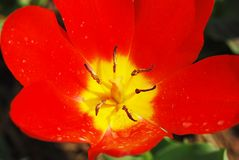 Red tulip flower closeup. Stock Photo
