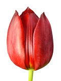 Red Tulip Flower Closeup Isolated on white background Stock Photo
