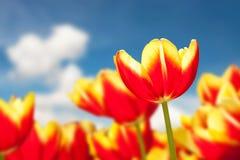 Red tulip flower on cloud blue sky Stock Photos