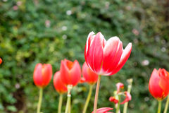 Red tulip flower on  field Stock Image