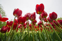 Red Tulip Flower Field Royalty Free Stock Photography