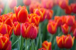 Red tulip flower fields blooming Royalty Free Stock Photos