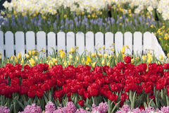 Red tulip flower in the garden Stock Photo