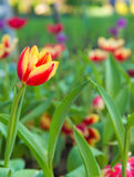 Red tulip flower in garden Stock Photo