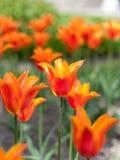 Red tulip in a flower garden stock photos