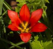 Red tulip flower Stock Image