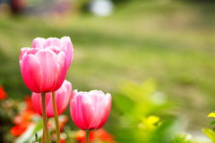 Red tulip flower with the green background Royalty Free Stock Images